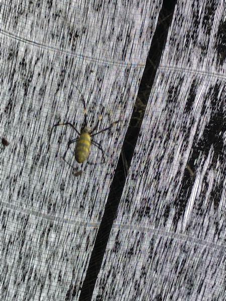 このクモは何というクモですか? 実家にたくさんいます。