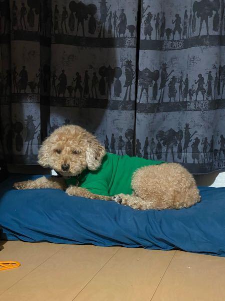 緊急! トイプードルでアプリコットカラーの愛犬が、黄色やオレンジが似合う事はわかってますが、緑は似合わないですよね? オレンジや黄色以外で、何色なら似合うと思いますか? ※写真は寝起きなので、ブチャイク ですwww