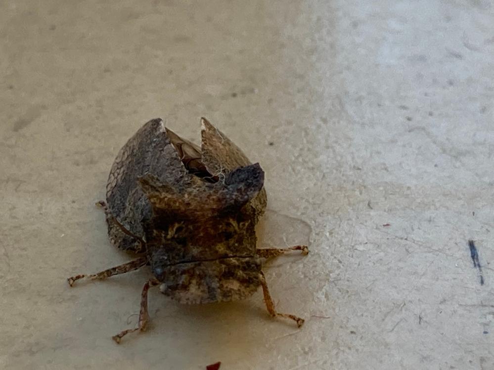 これはツノゼミでしょうか?なんていう虫か教えてほしいです。