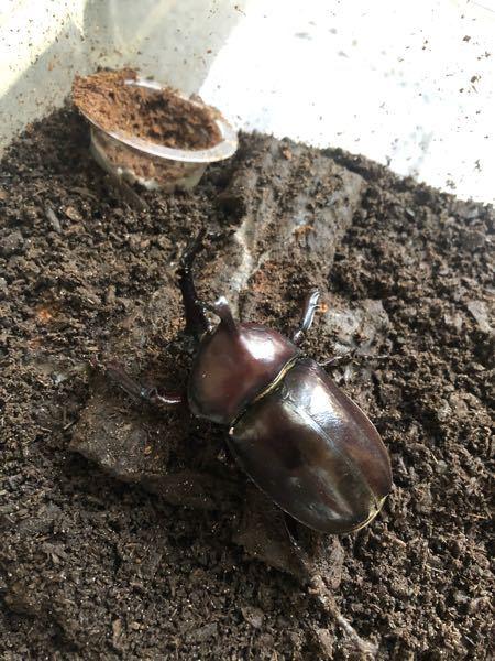 今年から昆虫飼育を始めた初心者なのですがカブトムシの寿命は大体8月の終わり頃だと思うのですが今飼育しているカブトムシはまだ元気にしています。実際カブトムシの最大どれくらいまで生きていきますか?