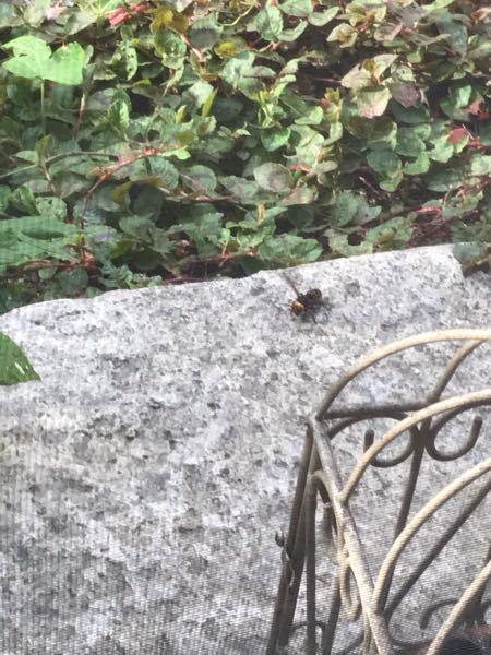 これは何蜂でしょうか。朝から追いかけられました。熊蜂でもなく脚長バチでないことは確かです。写真も良くはないので、大まかな分類でも問題ありません。よろしくお願いします!