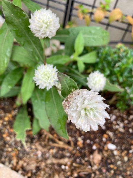 このお花は何て言うお花ですか?たくさん伸びてるんですが、お手入れ(剪定)とかした方が良いのでしょうか?