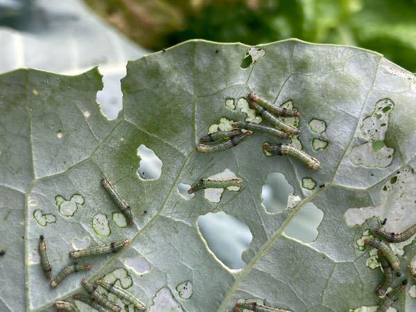この幼虫は何の幼虫ですか!見つけました!教えてください、お願いします‼️