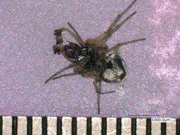 画像の蜘蛛の種類が分かる方、 ご教示お願いいたします。 体長は、3mmくらいです。 ファイルの中で潰れていました。 よろしくお願いいたします。