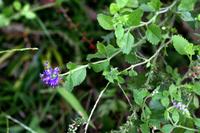 この花は何でしょう。今咲いています。とても小さい紫色の花です。 夏に咲く赤いセージ?のような感じで地面を這っています。葉っぱをみるとそんな感じがします。名前、種類は何でしょうか。わかるかた教えてください。よろしくお願いします。
