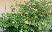 これは何という木ですか?日陰になる場所に育ってます。