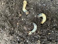 この虫は何の幼虫ですか? さつまいもを植えている鉢からたくさん出てきました。