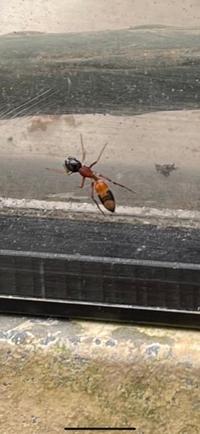 初めて見る、アリが2匹 何て、名前か教えて下さい 毒性は無いでしょ~か?!