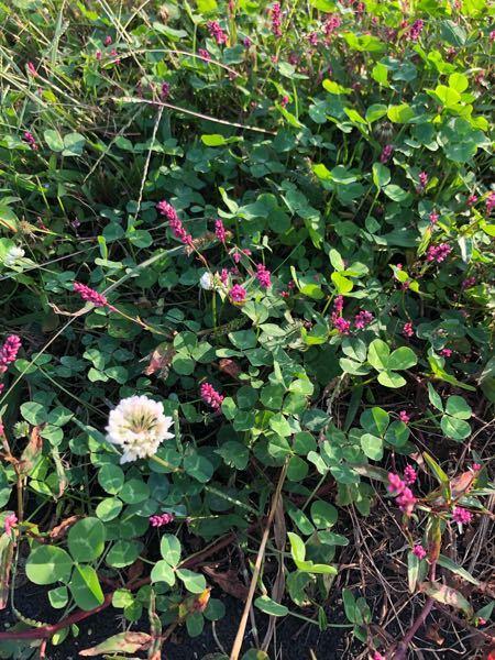 このピンクの花の雑草は何という雑草でしょうか?