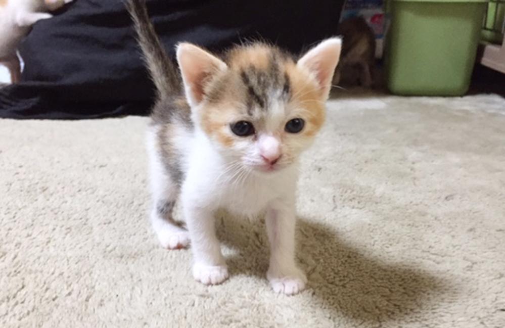 こんにちは 可愛いですか?? 三毛の仔猫ちゃん!!