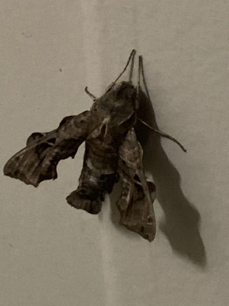 見た事ない虫がいました。これは蛾ですか?新種でしょうか?