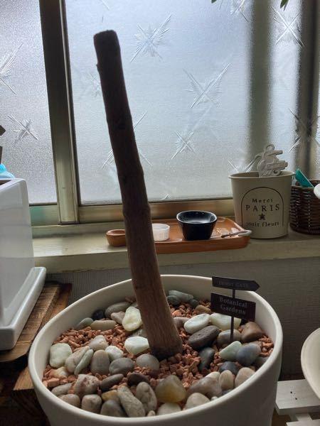 種から植えて5年のマンゴーの木ですが、イタズラされて20cmで切られました… 新芽が出て来ますか ?