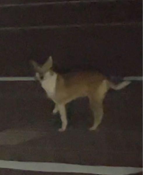 この動物の名前を教えてください。 昨日の夜(2021/10/10の23:50頃)、道路脇で飛び跳ねてるのを見かけました。 見た感じ犬とは少し違うように感じましたので、質問させていただきました。 大きさは大型犬くらいです。 よろしくお願いします。