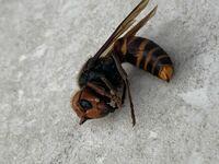 これはオオスズメバチですか