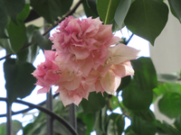 この花は ブーゲンビリアの八重咲きでしょうか?