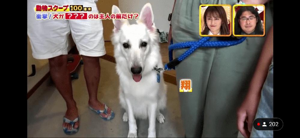 この犬の種類ってなんでしょうか?さっきTBSのテレビで出てきました。自分で調べたらホワイトシェパードが一番近かったのですがなんか違う気がして…