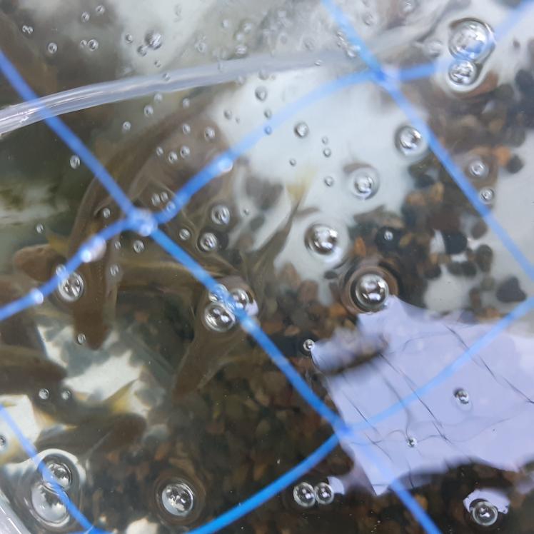 川魚の カワムツとか アブラハヤは どういう餌を食べるのでしょうか