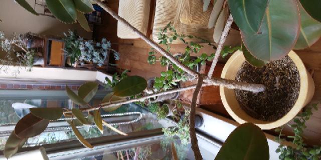 ゴムの木の枝が四方向に開いてしまい 枝がしなってストレスになっているようなのですが 何か改善方法はありますでしょうか? よろしくお願いいたします。