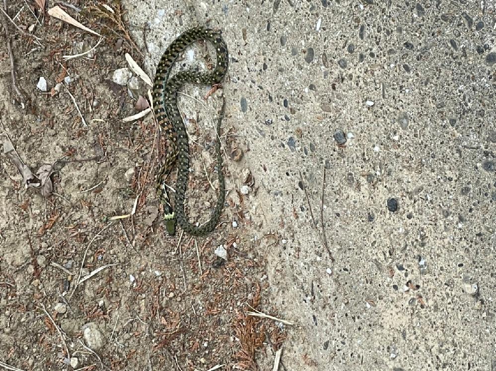 今日道端で蛇見つけました。 この蛇はなんという名前ですか? 画像検索できなかったです。。