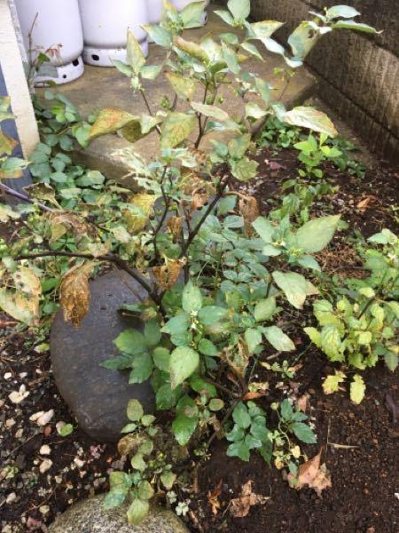 お世話になります。② この植物はなんでしょうか? 雑草なのですが。 お分かりになるかた教えて頂けましたら嬉しく思います。 よろしくお願いします。