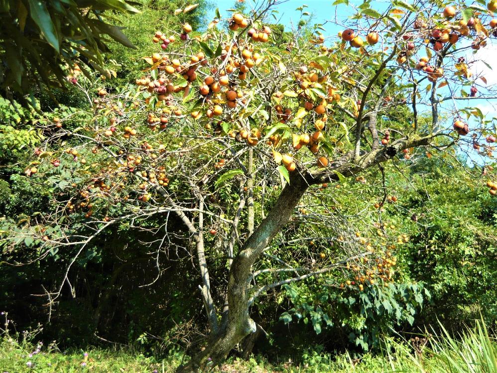 シニアの皆様、秋を実感されてますか。 今年は空き家の柿が例年になくたくさん実っています。 隣の奥さんと私は喜んで採ったのですが…、年寄家族でそんなに食べなくて…。 もういらな~い! 皆さんの秋は如何でしょうか?