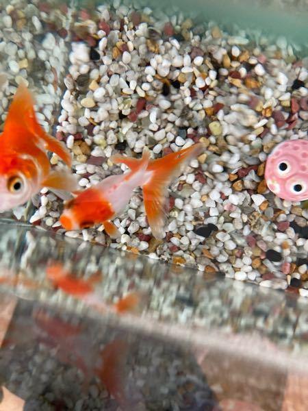 金魚の頭の当たりが赤く充血しています。赤斑病か穴あき病かケガのどれかなのかと思いますが、わかりますでしょうか。 17Lの水槽に2匹飼っており、ジェックスのスリムフィルターのみ使用。水は少なくとも週1で変えていますが、数日前にこの金魚が底でじっとして動かずヒレもくたっとしていたので、3日前に替えました。今は元気なように見えるのですが、水面近くにいることが多いです。