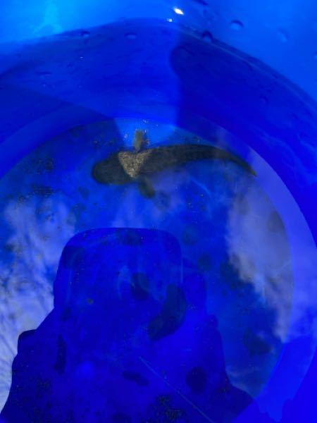 海水魚です。プレコみたいな見た目です。なんて魚ですか?教えてください