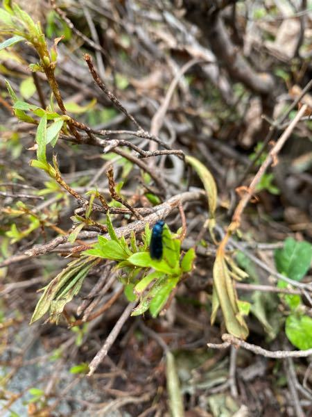 庭の植木に大量発生しています。 周囲で発生しているのはうちだけのようです。 青く光っていて小さい飛ぶ虫です。 何という名前でしょうか。 駆除対策はどのようにすればよいでしょうか。