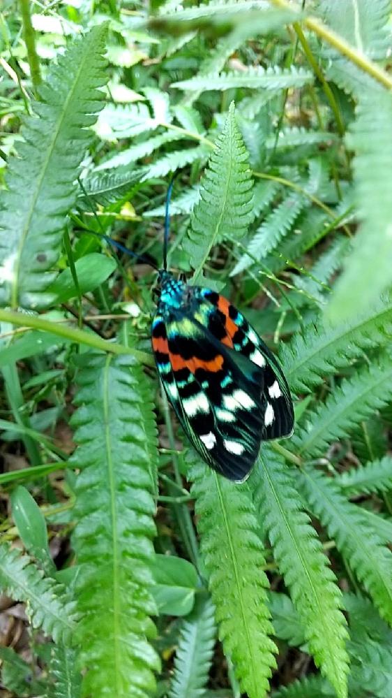 これは蝶ですか? わかる方いらっしゃいますか?