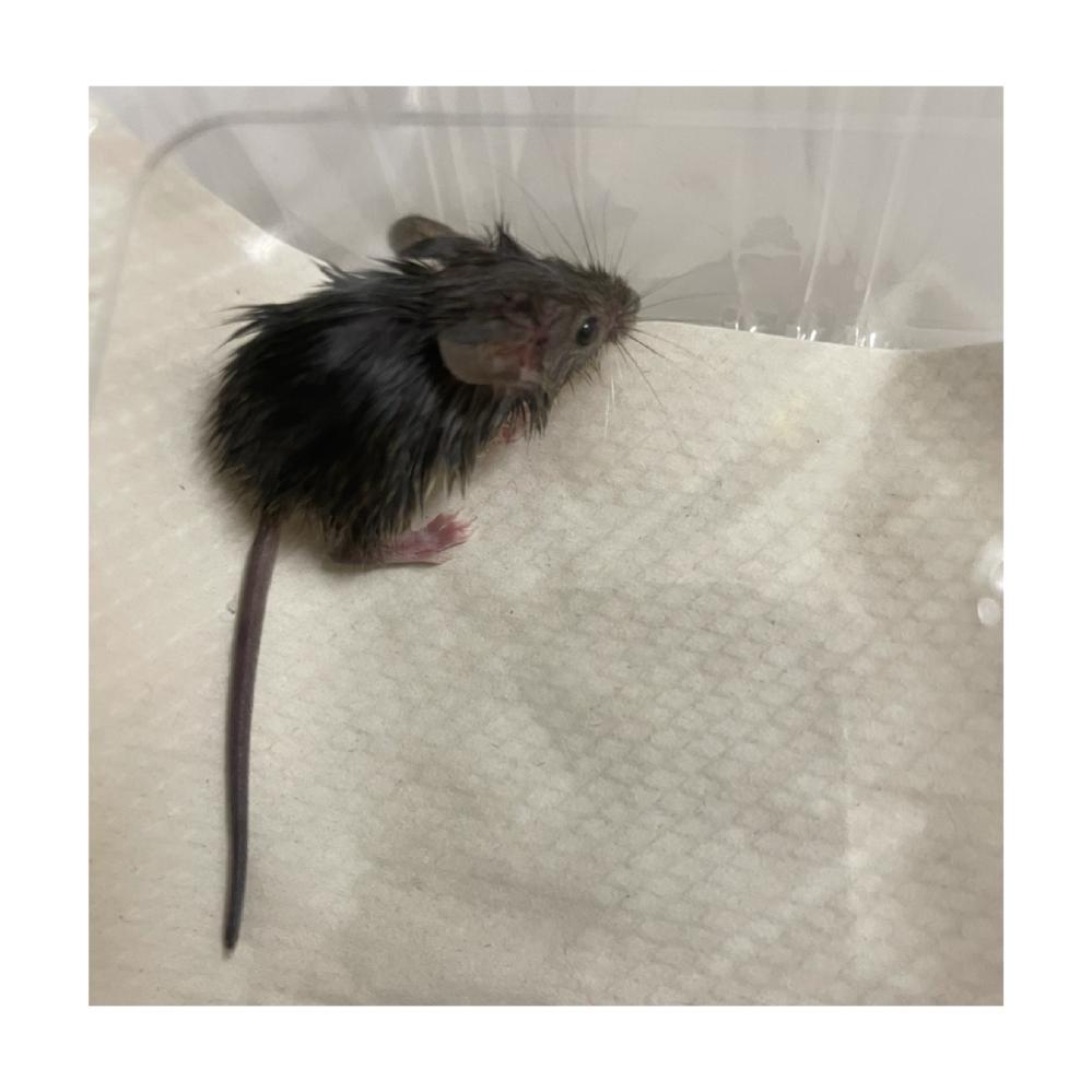 これって何ネズミですか?