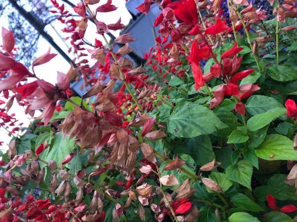 サルビアの変色について教えてください。 花壇に植えたサルビアの赤色が白くなってきました。 昨年はこのようなことがなかったのですが…。 少し追肥をしたのですが効果がありません。 時期的にも終わりかと思うのですが 何か良い方法はありませんでしょうか。