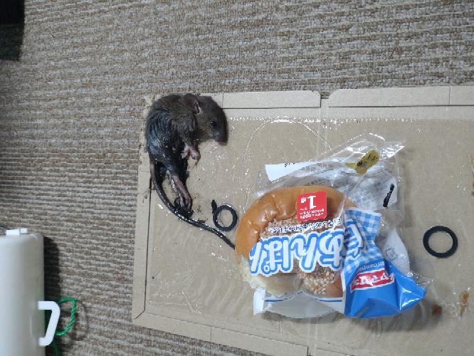 ⚠ネズミの写真が出ます。ネズミが嫌いな方はこの投稿を見ないでください。⚠ これは何ネズミですか?(閲覧注意)