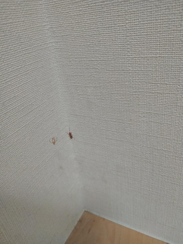 この写真の蜘蛛は何ですか? 家の中の壁のすみっこにずっと動かずにいて最近大きく少し黒っぽくなったかな?と思ったら脱皮している気がします。 分かる方いらっしゃいましたら教えて下さいm(_ _)m