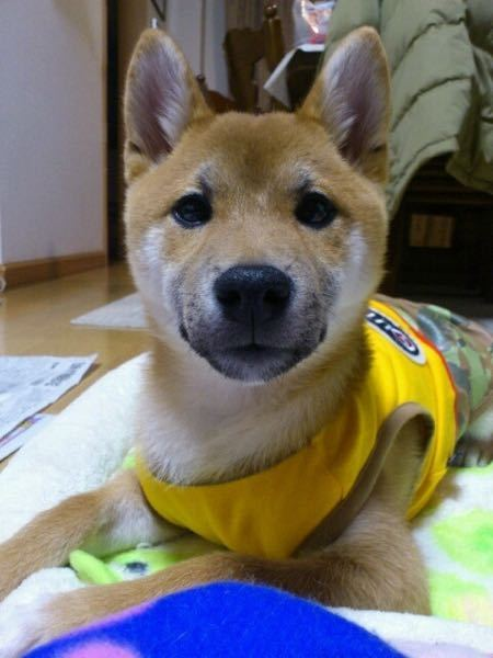 普通の柴犬ってタヌキみたいな顔してますが、たまに写真の様な顔がスリムな子がいます。何かのミックスなんでしょうか。