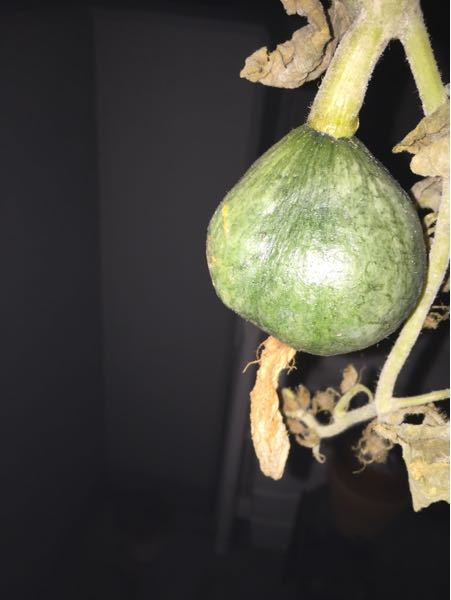 すみません、これはなんという植物の実でしょうか?ゴーヤと思って育てていたのですが、こんな実がなったので驚きました。ゴーヤですか?これは。 植物にお詳しい方、お願いします!