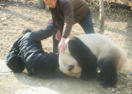 (`∇´) 【暴れパンダ・大喜利】 [お題] 温厚なイメージのパンダが大暴れ! その『理由』とは?