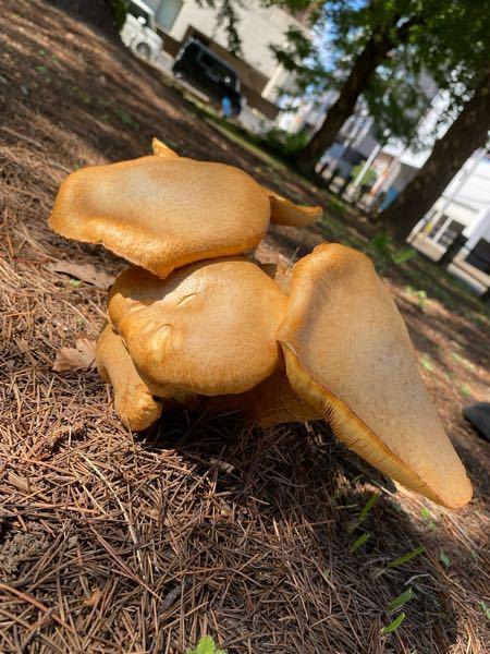 公園に立派なキノコが生えていました。 食用目的ではないのですが、名前が気になります。 わかる方いらっしゃいますか? 少し調べたのですが、わかりません よろしくお願いします。