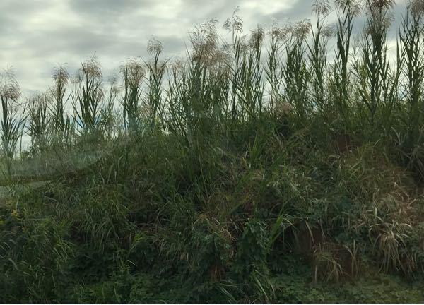 こちらの草は何という草でしょうか 川沿いにススキと一緒によく生えていているのですが、ススキと違って一房が四方八方に伸びています 秋に実?をつける草です