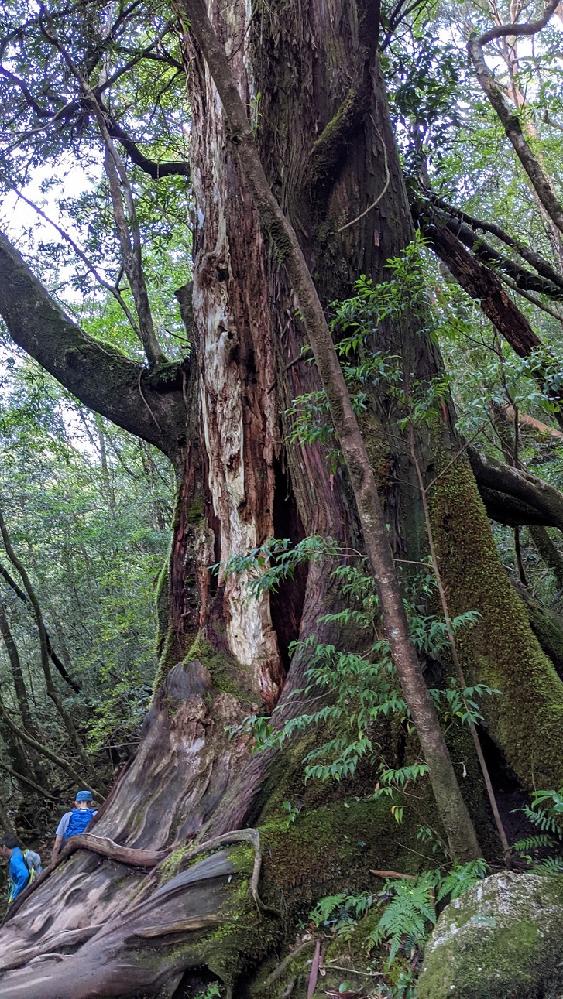 屋久杉の名前について この杉の木に名前があるのなら知りたいです。 場所は登山ルートの仁王杉から大王杉の間だったと思います。 よろしくお願いいたします。