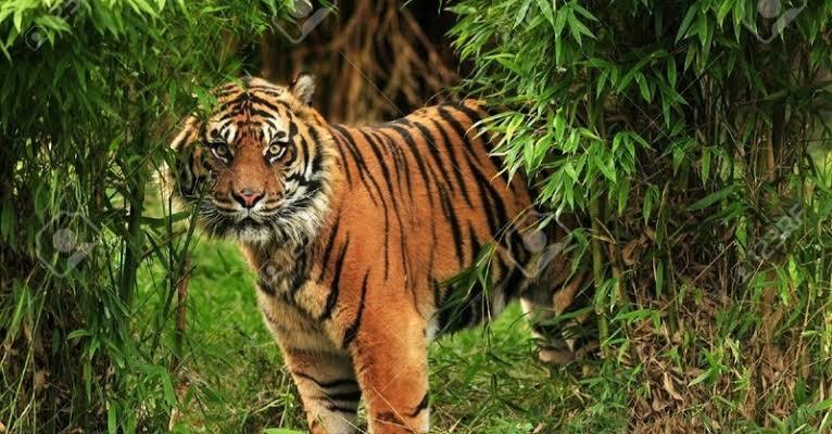 トラはジャングルにも住んでいるのにどうして緑色の個体が存在しないのでしょうか?