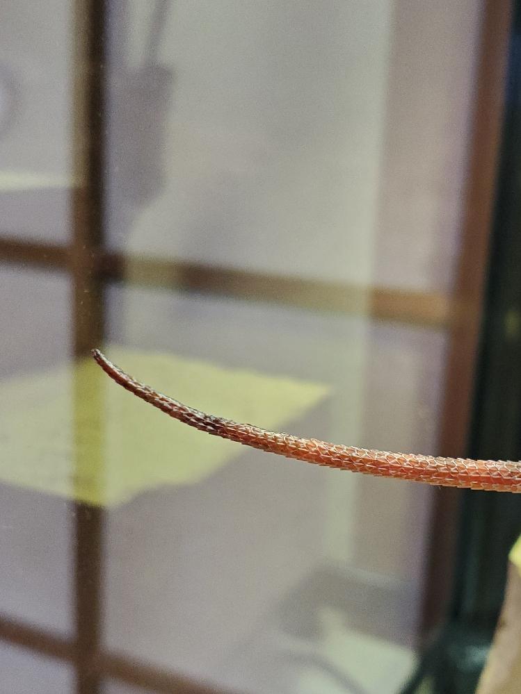 フトアゴヒゲトカゲの尻尾の先端部分が黒く曲がっています。 全長約23センチ、黒い部分約2センチです。 昨日脱皮したんですが、尻尾の中腹から先端の方が残っていて温浴の時に剥いたので皮が残っている...
