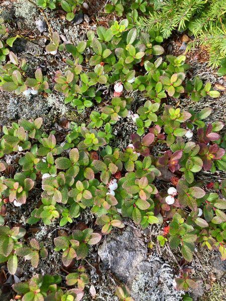 北海道駒ヶ岳に登山に行き見つけました。 この植物はなんですか?