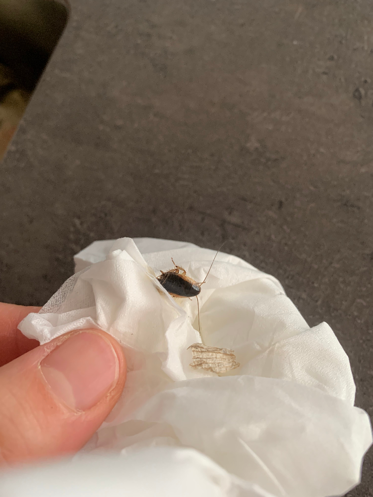 これはゴキブリですか?