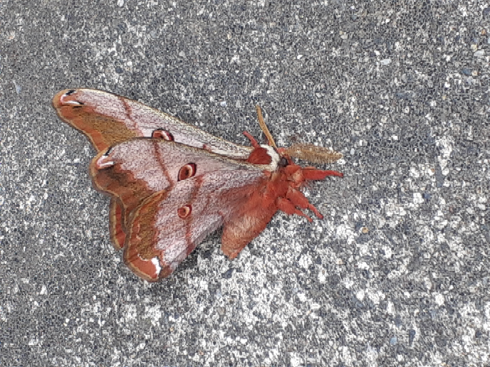 この蛾は何ですか?