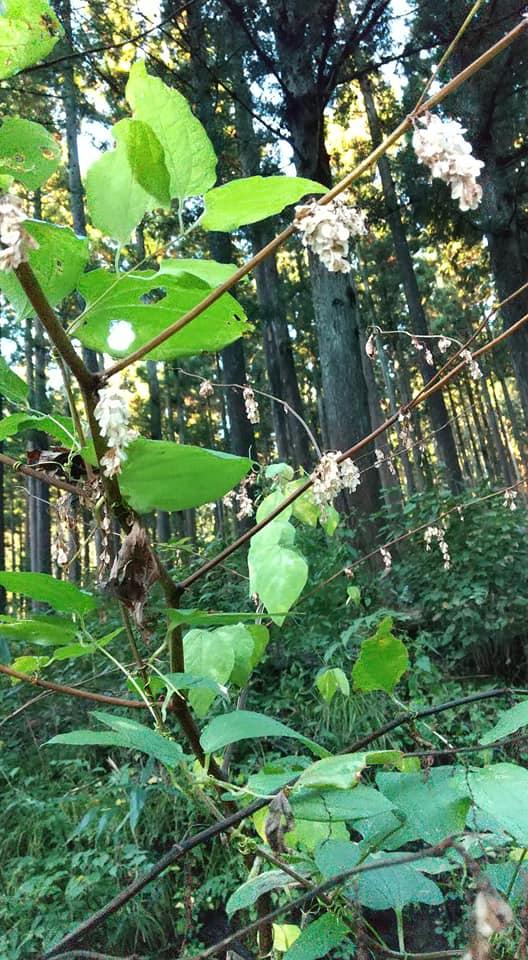 この房状に翼果がついている木の名を教えてください。