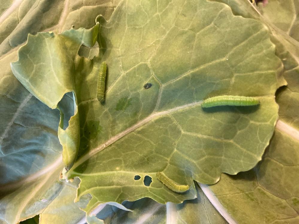 初めて投稿します。 ケールにいた幼虫です。 画像でわかりにくいかもしれませんが、こちらはモンシロチョウの幼虫でしょうか? コナガやヨトウムシでしょうか…? 子供が育てたがっているので、一応虫かごにいるのですが、どんなものに成長するのだろうと気になっています。 検索しても、なかなか見分けは難易度が高いようで。 どなたかお詳しい方、ご教示いただけますでしょうか!?