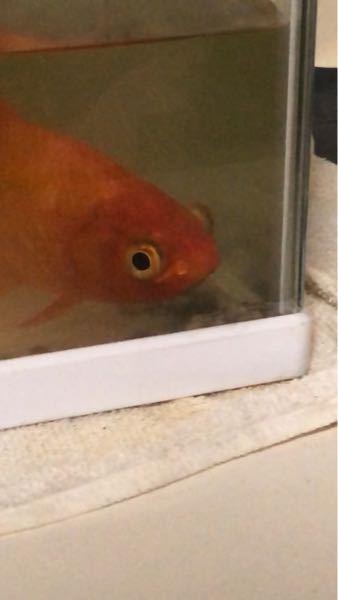 うちにいる金魚の目が大きい気がするのですが、もしかして病気でしょうか?