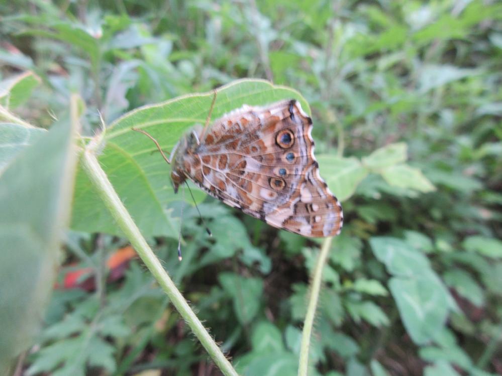 この蝶の名前を教えてください。 逆さに留まっていました。
