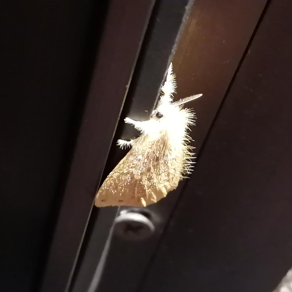 写真の蛾は何という種類ですか? 2cm大の小さな蛾です。 夜、ライトの近くに止まっていました。 かわいい顔してたので写真撮っちゃいました。