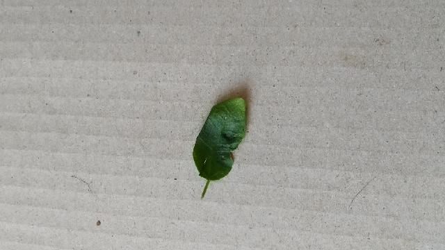 ガジュマルの葉っぱですが、葉焼けでしょうか。どんな感じかわかりますか?